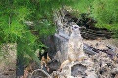 Meerkat守卫 免版税库存图片