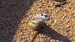 Meerkat审查在树桩的疆土身分,在动物园的非洲meerkat,干净的美好的meerkat 股票视频