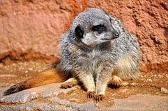 Meerkat对墙壁 免版税库存照片
