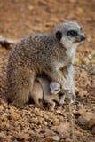 Meerkat小狗在他们的母亲下挤作了一团 免版税库存照片