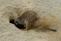 Meerkat开掘在沙子的一个洞 库存照片