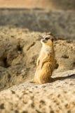 Meerkat或海岛猫鼬类 免版税库存图片