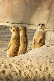 Meerkat或海岛猫鼬类 库存照片