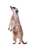 meerkat或suricate在白色 免版税库存图片