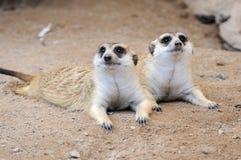 Meerkat或suricate,在行动的野生动物 库存照片