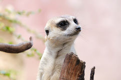 Meerkat或suricate,在行动的野生动物 免版税库存照片