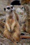 Meerkat注意 库存图片