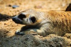 Meerkat海岛猫鼬类suricatta从他的孔搬出 库存图片