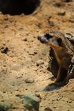 Meerkat海岛猫鼬类suricatta从他的孔搬出 免版税库存照片