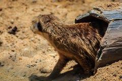 Meerkat海岛猫鼬类suricatta从他的孔搬出 图库摄影