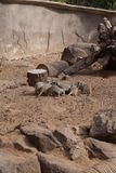 Meerkat海岛猫鼬类suricatta小非洲哺乳动物 免版税图库摄影