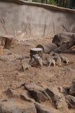 Meerkat海岛猫鼬类suricatta小非洲哺乳动物 免版税库存图片
