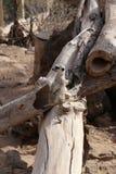 Meerkat海岛猫鼬类suricatta小非洲哺乳动物 库存图片