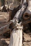 Meerkat海岛猫鼬类suricatta小非洲哺乳动物 库存照片