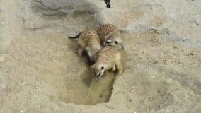meerkat海岛猫鼬类suricatta开掘在沙子的小组 股票视频