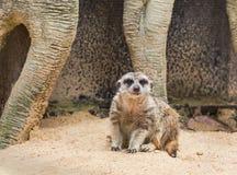 Meerkat海岛猫鼬类suricatta看起来机敏 免版税图库摄影