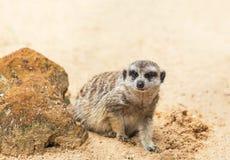 Meerkat海岛猫鼬类suricatta看起来机敏 图库摄影