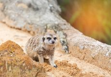 Meerkat海岛猫鼬类suricatta看起来机敏 库存照片