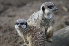 Meerkat父母和孩子 库存照片