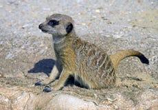 Meerkat猫鼬食肉动物的哺乳动物的开掘孔 免版税图库摄影