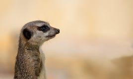 Meerkat监视 库存照片
