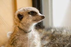 Meerkat看见 库存照片