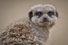Meerkat纵向 库存照片