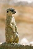 meerkat领土注意 免版税库存图片