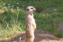 Meerkat,自然行为,注意敌人 图库摄影