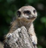 Meerkat, suricate 免版税库存图片