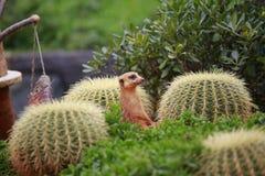 Meerkat är en sort av den spensliga kroppen med korta lemmar, det lilla huvudet, små öron, spetsen av munnen som matar på ormar,  fotografering för bildbyråer