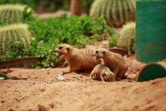 Meerkat är en sort av den spensliga kroppen med korta lemmar, det lilla huvudet, små öron, spetsen av munnen som matar på ormar,  arkivbilder