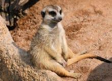 Meerkat är uttröttad Royaltyfri Foto