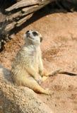 Meerkat är vakant Fotografering för Bildbyråer