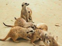 Meerkat é um animal que crianças como e impresso com sua beleza imagem de stock