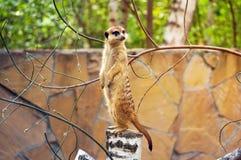 Meerkat ή suricate στο ζωολογικό κήπο Στοκ εικόνες με δικαίωμα ελεύθερης χρήσης