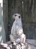 Meerkat ή Suricate Suricata Suricatta στην Αφρική Στοκ φωτογραφίες με δικαίωμα ελεύθερης χρήσης