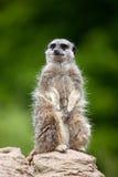 meerkat βράχος Στοκ εικόνες με δικαίωμα ελεύθερης χρήσης