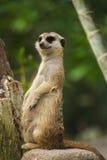Meerkat και πράσινη φύση Στοκ φωτογραφία με δικαίωμα ελεύθερης χρήσης