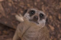 meerkat κοιτάξτε επίμονα Στοκ Φωτογραφία