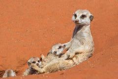 Meerkat με το suricatta Suricata κουταβιών Στοκ Εικόνες