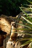 Meerkat που γυρίζει γύρω για να εξετάσει σας στον τομέα Στοκ φωτογραφία με δικαίωμα ελεύθερης χρήσης