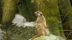 Meerkat που κοιτάζει έξω φιλμ μικρού μήκους