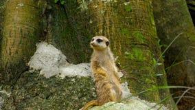 Meerkat που κοιτάζει έξω απόθεμα βίντεο