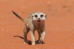 Meerkat που περπατά στο κόκκινο suricatta Suricata άμμου Στοκ φωτογραφία με δικαίωμα ελεύθερης χρήσης