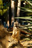 Meerkat που στέκεται και που κοιτάζει άμεσα Στοκ Εικόνες