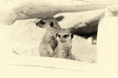 Meerkat που στέκεται κατακόρυφα και που φαίνεται άγρυπνο Εκλεκτής ποιότητας επίδραση Στοκ Εικόνες