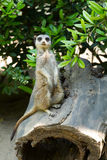 Meerkat που στέκεται κατακόρυφα Στοκ Εικόνες