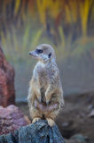 Meerkat που στέκεται σε έναν βράχο Στοκ εικόνες με δικαίωμα ελεύθερης χρήσης