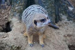 Meerkat που στέκεται σε έναν βράχο Στοκ Εικόνα